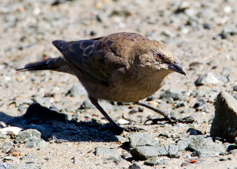 Brown-headed Cowbird, Bodega Bay, CA