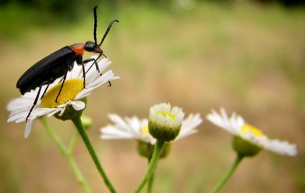 A beetle atop blooming prairie fleabane (Erigeron strigosus) (20140529_10696)