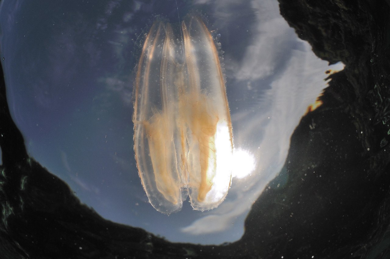 "Ctenophores or ""Comb Jellys"", normally pelagic, were frequent and largely unwelcome visitors on most swims."