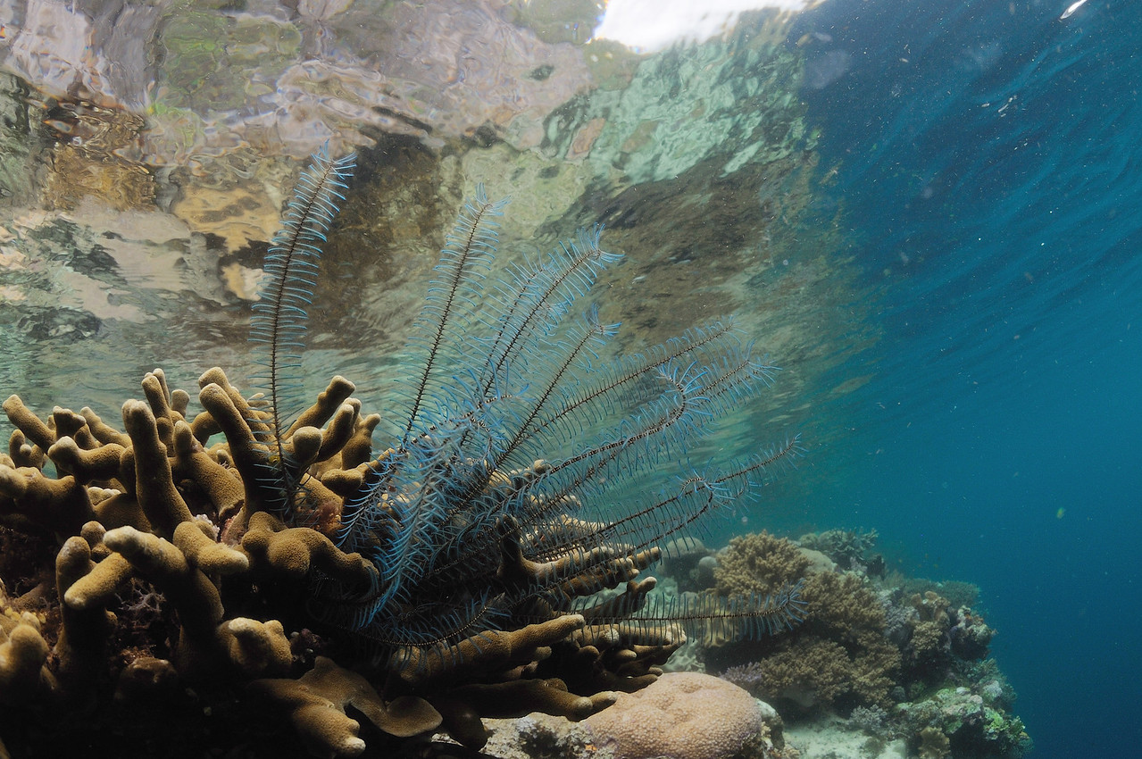 On the reefs of the coral triangle, life exists in layers. Here, a blue crinoid (feather star) collects passing nutrients from atop a hard coral.