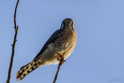 American Kestrel -Male.  Close to being in the right spot and the right time.  This one was chasing finches and landed just above me.