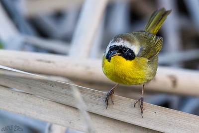 Common Yellowthroat (Geothlypis trichas) in between bounces.