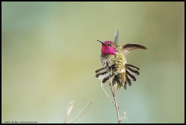 An almost complete gorget on this Anna's Hummingbird as it goes through a warm up fluff cycle.