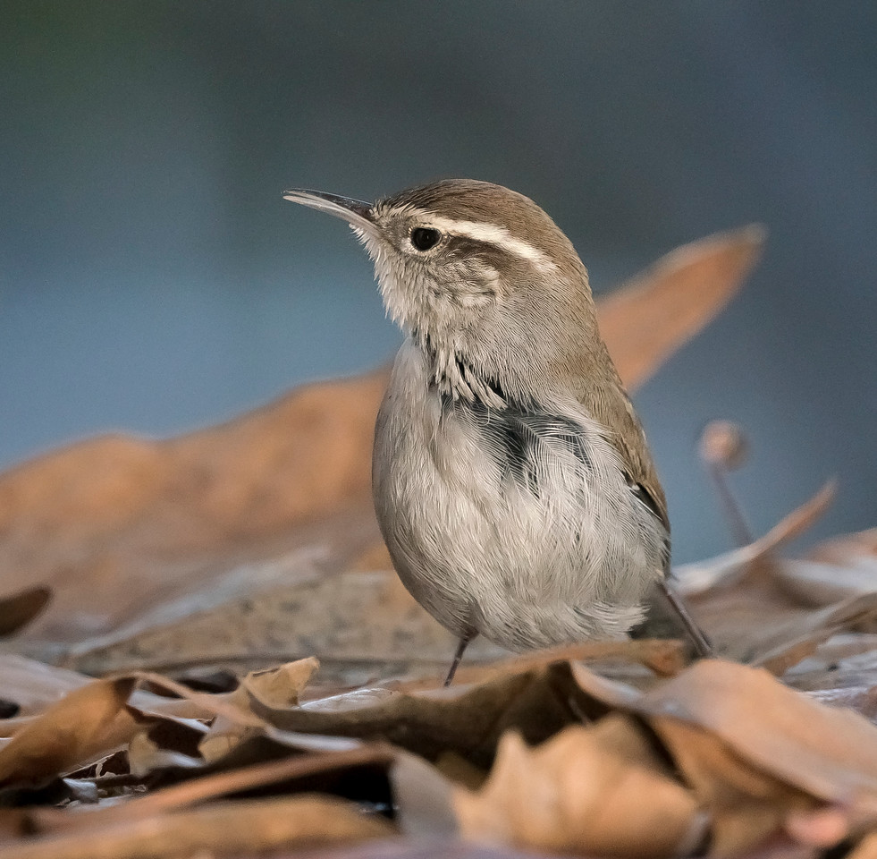 Wounded Bewick's Wren