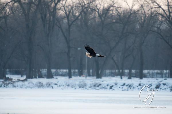 Mississippi River::La Crosse, WI - Eagles