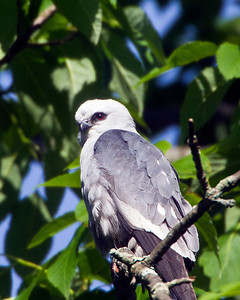 Mississippi Kite 6/6/12