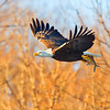 Bald eagle with a catch, Mississippi River, Lock & Dam 14, LeClaire, IA, Feb. 2011.  Copyright © Sharon Broutzas.
