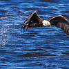 Bald eagle captures a fish, Mississippi River, Lock & Dam 14, LeClaire, IA, Feb. 2011.  Copyright © Henry Nepomuceno.