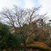 Almost bare maple tree
