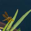 Mo Botonal Garden - Mostly Dragonflies-0165