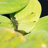 Mo Botonal Garden - Mostly Dragonflies-0173