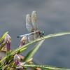 Mo Botonal Garden - Mostly Dragonflies-0153