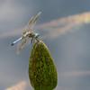 Mo Botonal Garden - Mostly Dragonflies-0135