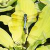 Mo Botonal Garden - Mostly Dragonflies-0175