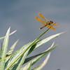 Mo Botonal Garden - Mostly Dragonflies-0161