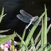 Mo Botonal Garden - Mostly Dragonflies-0181