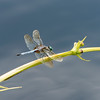 Mo Botonal Garden - Mostly Dragonflies-0133