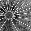 Cycas revoluta - sago palm-00926