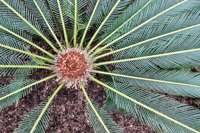 Cycas revoluta - sago palm-00926-2