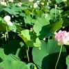 Sacred Lotus etc-78