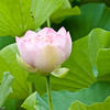 Sacred Lotus etc-29