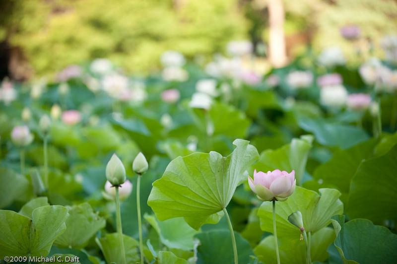 Sacred Lotus etc-34