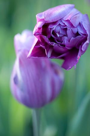 MoBot Garden Flowers 041710