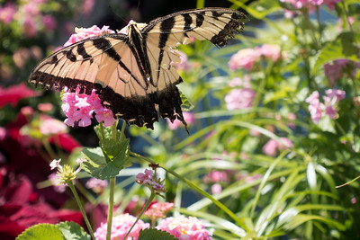 Mostly Butterflies, September 8 2017