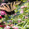 Eastern Tiger Swallowtail-01444