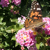 Painted Lady-01459