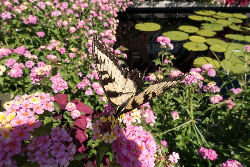 Eastern Tiger Swallowtail-01466