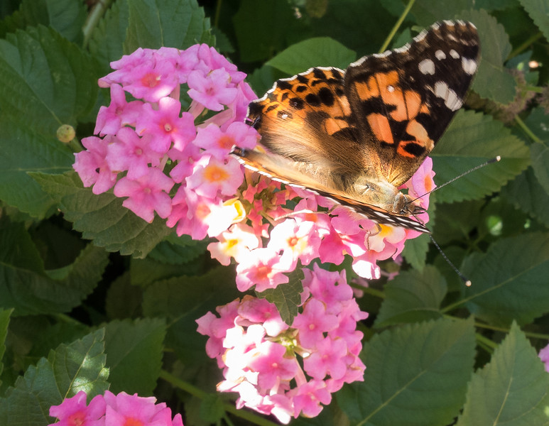 Painted Lady-01463