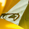 preying mantis MBG 090712-7