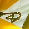 preying mantis MBG 090712-3