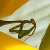 preying mantis MBG 090712-5