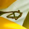 preying mantis MBG 090712-2