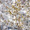 Spring Snow Saint Louis March 27 2011-18