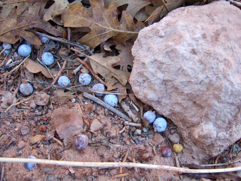 Hike to Morning Glory Natural Bridge on Morning of November 1, 2009 - fallen juniper berries and acorns  in trail