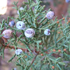 Moab Utah AMGA Meetings October-November 2009 - Juniper Berries