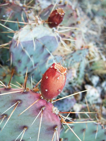 Moab Utah AMGA Meetings October-November 2009 - Prickly Pear Fruit