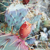 Moab Utah AMGA Meetings October-November 2009 - Prickly Pear Fruit