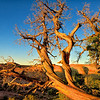 Utah Juniper at Sundown in Arches NP
