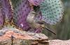 Curve-billed Thrasher (Toxostoma curvirostre)