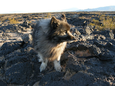 "Keeshonden (that's the plural of ""Keeshond"", BTW) are a very good breed for a companion dog: even-tempered, mid-sized, bright, friendly, and quite trainable. ""Bela, Stay! Good Boy!"""