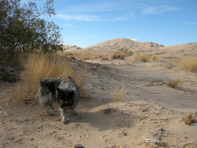 The highest Kelso dunes, in distance, are up to 700 feet high. They are said to make a singing or barking sound under certain conditions: see  http://www.schweich.com/sbdA.html  We heard no barking. If we had, Bela might have barked back!