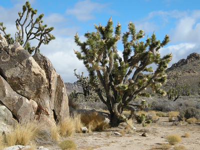 This area is said to have the largest and most concentrated expanse of Joshua Trees anywhere.