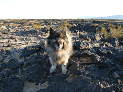 Bela on lava near Amboy Crater. Bela then was 15 years old, hard of hearing, dim of eyesight, slow of gait, but still loved to be out and about!