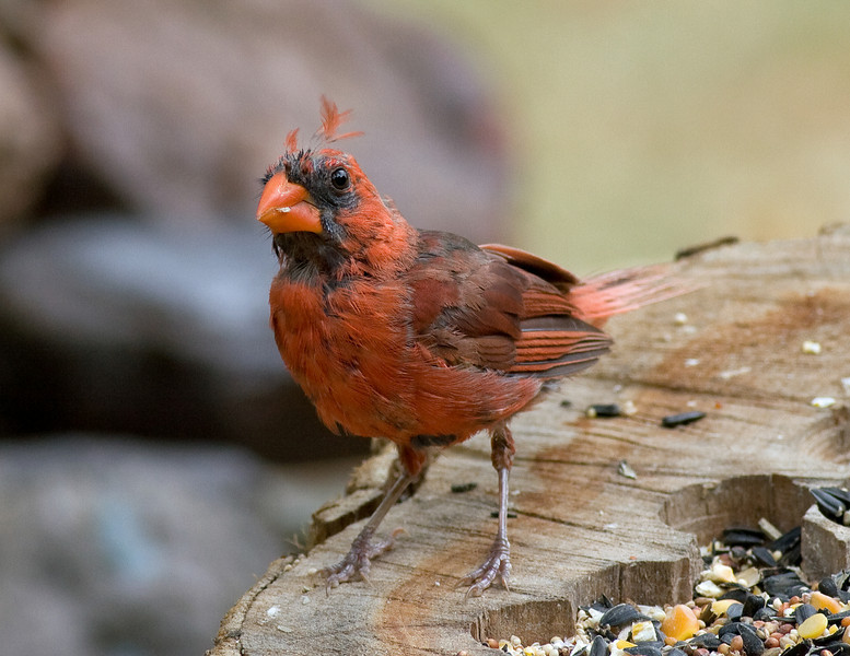 Male Cardinal in Pre-Basic Molt. This individual exhibts the classic replacement of the contour feathers while the flight and tail feathers remain. First week of August.