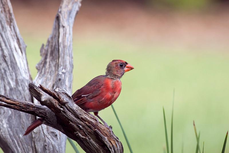 Juvenile Male Cardinal