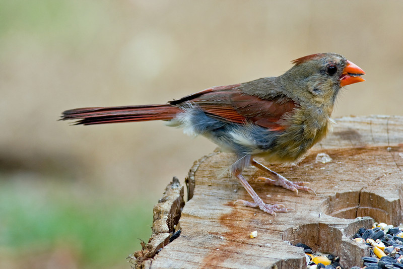 This mature female Northern Cardinal is going through her Pre-basic molt. Additionally excessive wear is visable at the distal end of the tail feathers, probably because she nested in an especially dense and tangled area of her range in East Texas. Photo taken in late July.
